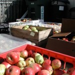 500 lbs. of apples