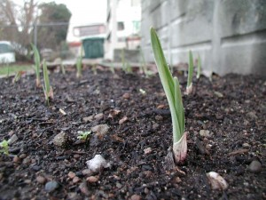 Garlic shoots coming up after a few weeks in the ground. Hopefully it's not too early -- I don't know how they'll do with the frost.